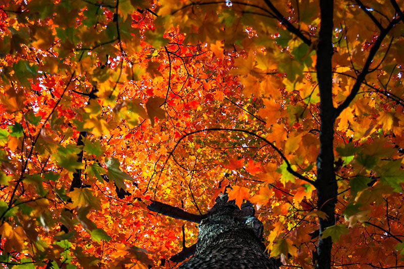 A tree with orange and red fall colors