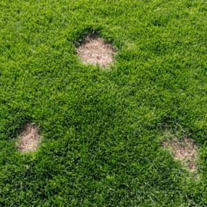dollar spots on grass