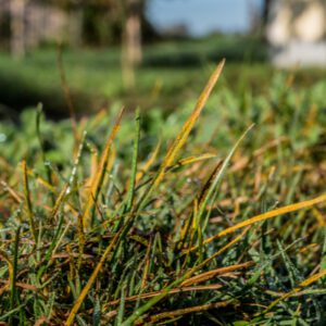 rust disease on grass